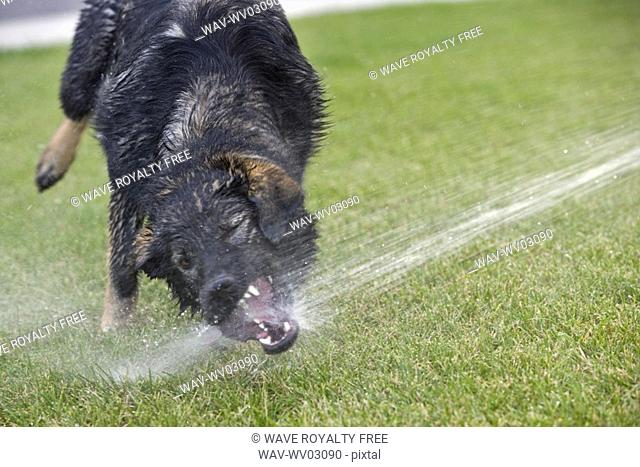 Black and brown Mixed Breed Dog with mouth sprayed by water, Canada, Alberta