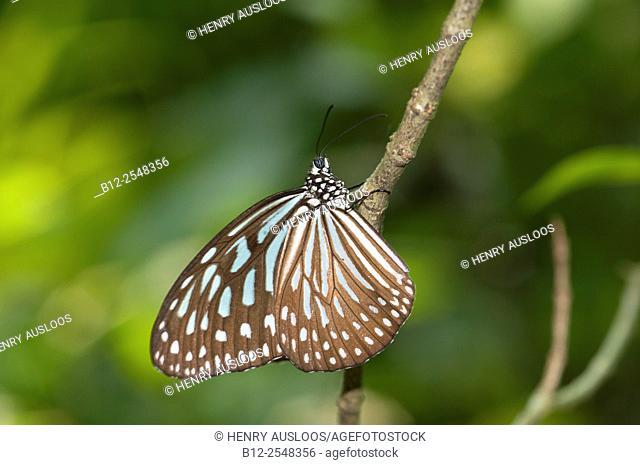 Blue Glassy Tiger (Ideopsis vulgaris), Thailand, Malaysia