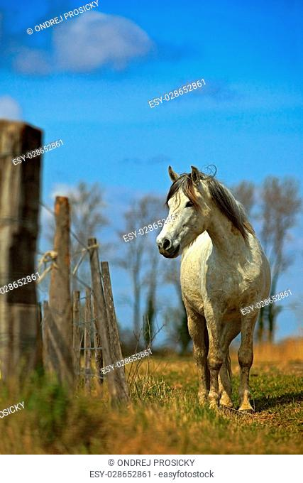 Nice white camargue horse feed on hay with horse. France