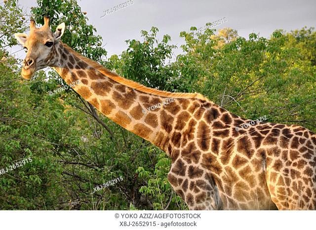 giraffa, Moremi National Park, Botswana