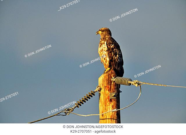 Bald eagle (Haliaeetus eucocephalus) Juvenile perched on hydro pole, Fort Providence, Northwest Territories, Canada