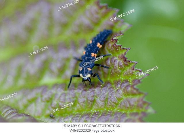 Seven-spot Ladybird larvae, Coccinella septempunctata on a bramble leaf