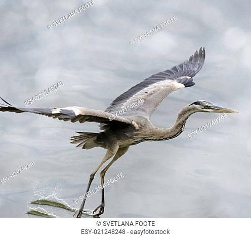 Great Blue Heron In Flight In Florida Wetlands