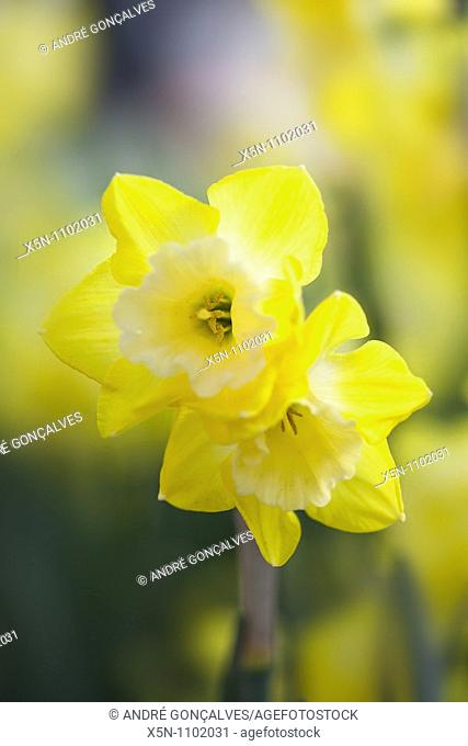 Yellow Tulip, Netherlands