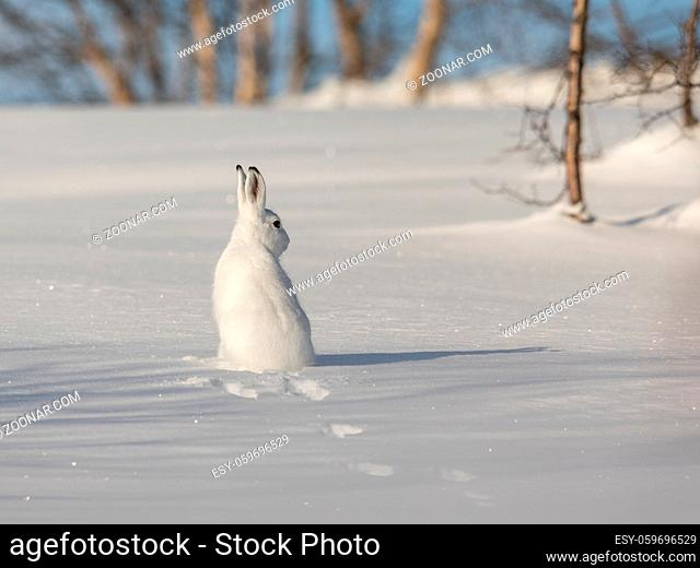 The mountain hare, Lepus timidus, is also known as blue, tundra, variable, white, snow, alpine and Irish hare. Here in its winter coat