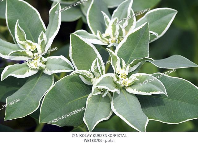 Snow-on-the mountain (Euphorbia marginata). Known as Smoke-on-the prairie, Variegated spurge ans White marginated spurge also