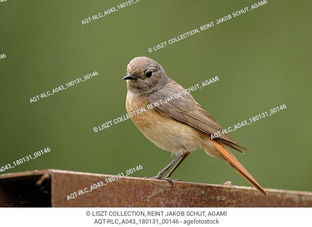 Common Redstart female perched, Common Redstart, Phoenicurus phoenicurus