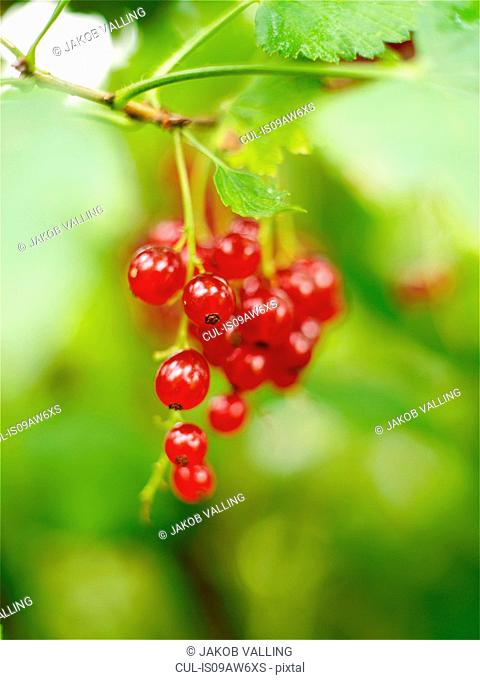 Close up of a bunch of redcurrants on bush