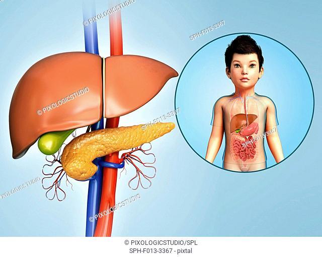 Internal organs of a child, illustration