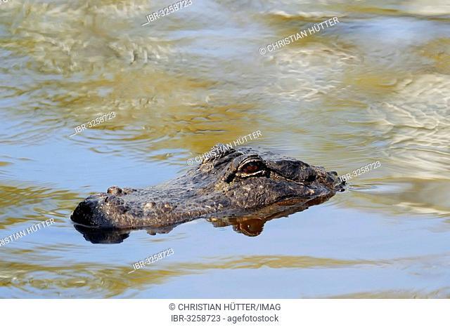 American Alligator (Alligator mississippiensis) in the water