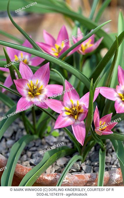 Tulipa humilis, syn. Tulipa aucheriana