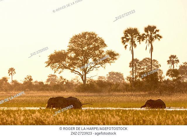 African bush elephant (Loxodonta africana) crossing a channel. Okavango Delta. Botswana