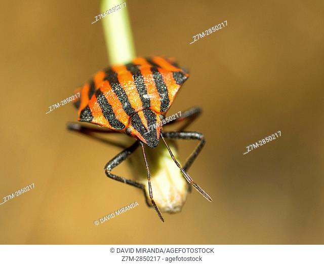 Insect. Fam. Pyrrhocoridae. Heteroptera. Insect. Arthropoda. Macro