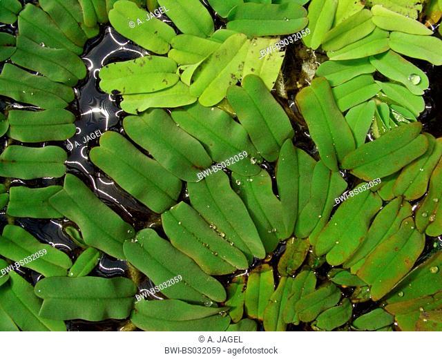 water fern (Salvinia oblongifolia), floating plants