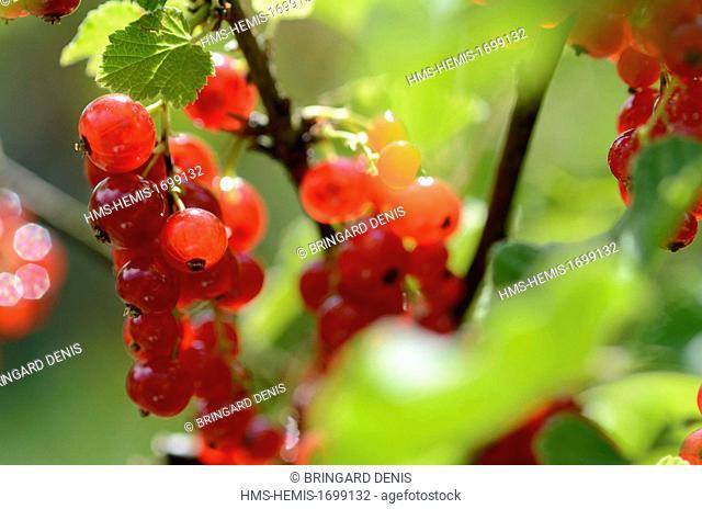 France, Territoire de Belfort, Belfort, garden, Red currant bush (Ribes rubrum), fruit