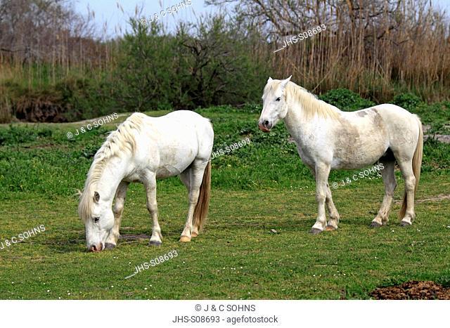 Camargue Horse,Equus caballus,Saintes Marie de la Mer,France,Europe,Camargue,Bouches du Rhone,two mares