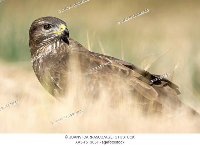 Common buzzard, Buteo buteo, Valencia, Spain