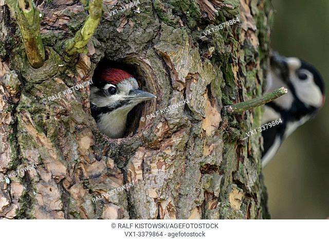 Greater / Great Spotted Woodpecker / Buntspecht ( Dendrocopos major ) young in nest hole anticipating feeding male, Europe