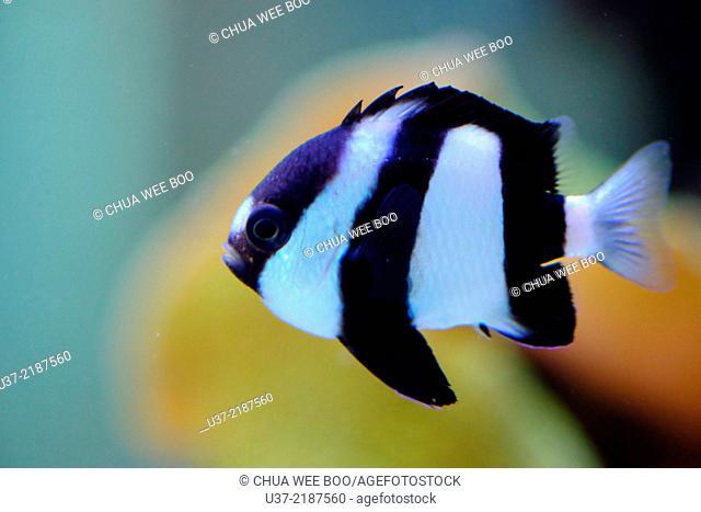 Whitetail dascyllus Dascyllus aruanus, Pomacentridae, in aquarium
