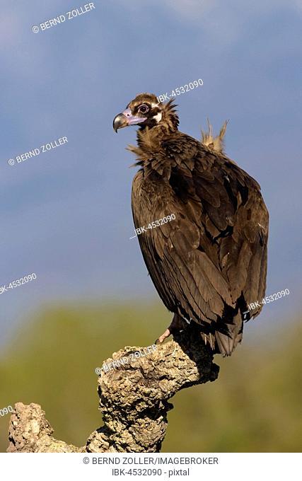 Monk vulture (Aegypius monachus) on branch of a cork oak, Extremadura, Spain