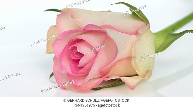Rose, Rosaceae, Studio