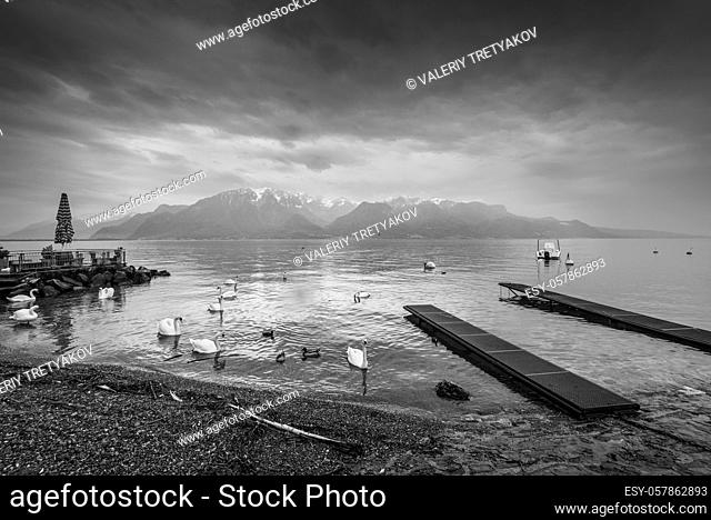 Swans and ducks on Lake Geneva in cloudy rainy weather in Lausanne, Switzerland. Black and white photography. Dramatic sky