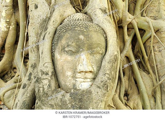 Ingrown image of Buddha in the Wat Mahathat Temple in the temple of the Unesco World Heritage Site, Ayutthaya, Thailand, Asia