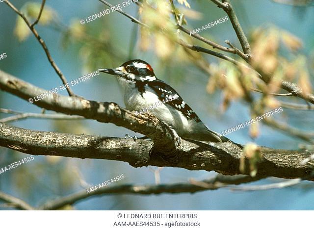Hairy Woodpecker Male