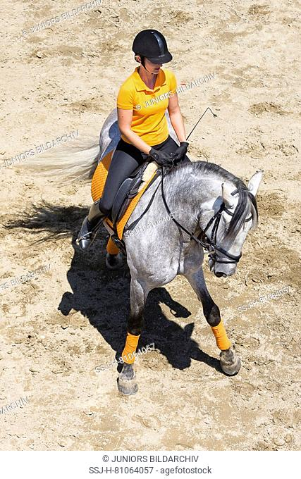 Pure Spanish Horse, Andalusian. Rider on juvenile gray stallion on a riding place, showing a turn on the haunches. Austria