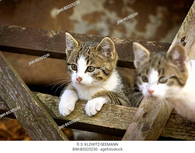 domestic cat, house cat (Felis silvestris f. catus), two kittens looking through a wooden rack, Germany