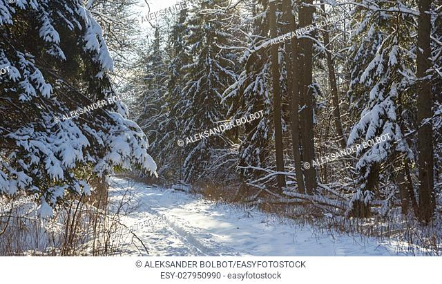 Snowfall after deciduous stand in morning with snow wrapped spruce and alder trees mostly by dirt road, Bialowieza Forest, Poland, Europe