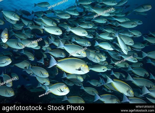 Shoal of Elongate Surgeonfish, Acanthurus mata, Komodo, Indonesia
