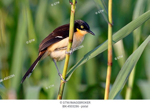 Black-capped Donacobius (Donacobius atricapilla) on reed, Pantanal, Mato Grosso State, Brazil