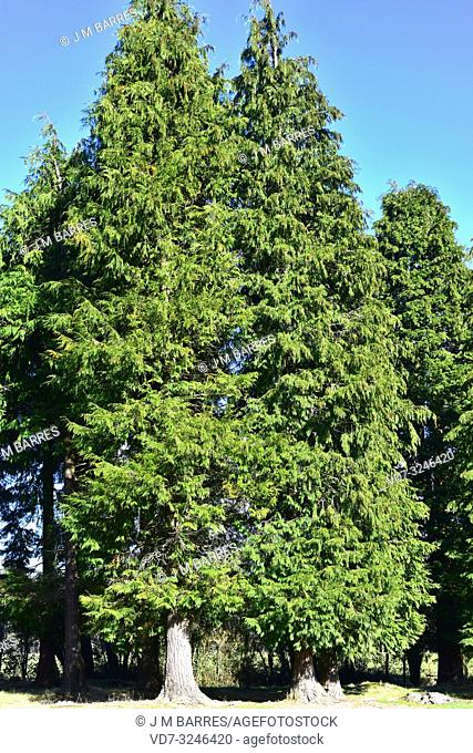 Lawson cypress (Chamaecyparis lawsoniana) is an evergreen coniferous tree native to north California and Oregon and introduced in other temperate regions for...