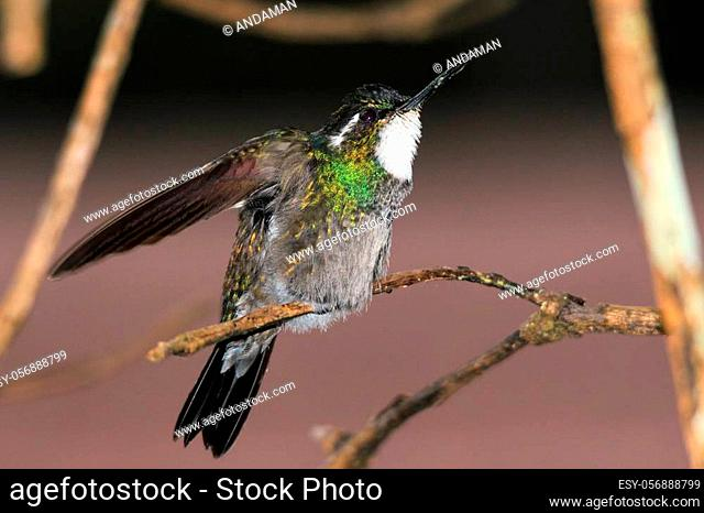White-throated Mountain-gem (Lampornis castaneoventris) on a Branch, about to spread its Wings. Boquete, Panama