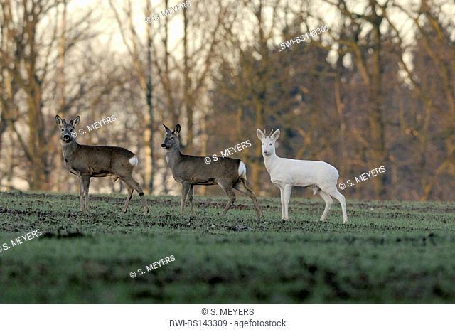 roe deer (Capreolus capreolus), three individuals, one an albino, Germany, Bavaria