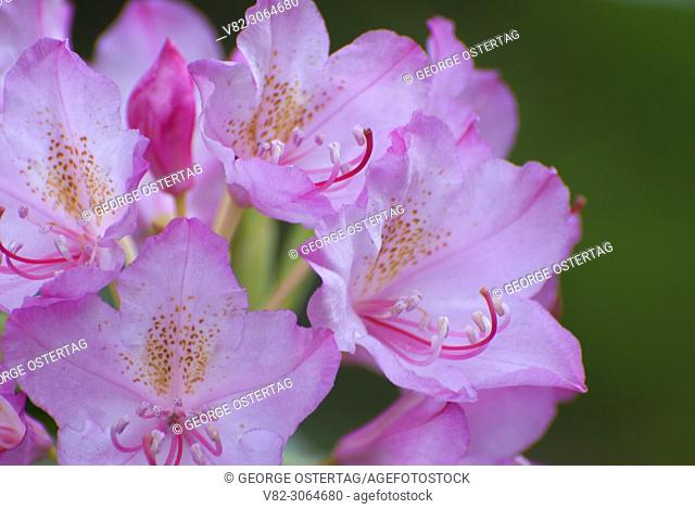 Pacific rhododendron (Rhododendron macrophyllum), Mt Hood National Forest, Oregon