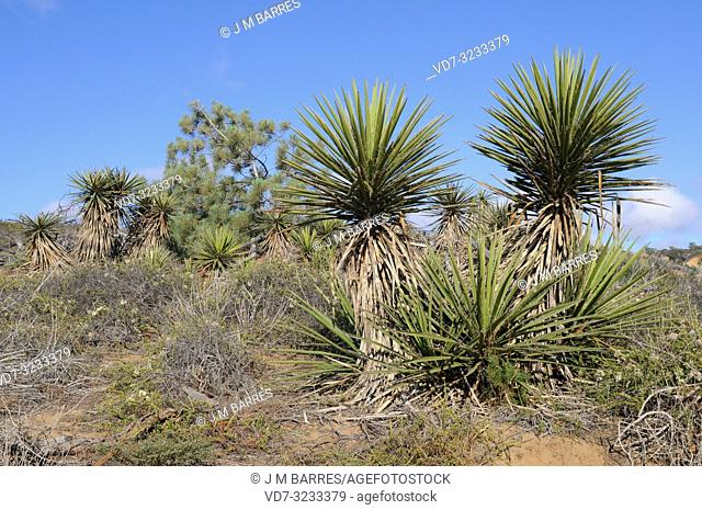 Chaparral yucca or spanish bayonet (Hesperoyucca whipplei or Yucca whipplei) is a perennial plant native to California (USA) and Baja California (Mexico)