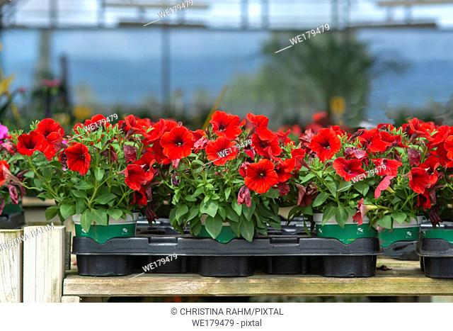 Red petunia flowers in pots inside greenhouse. Spring garden series, Mallorca, Spain