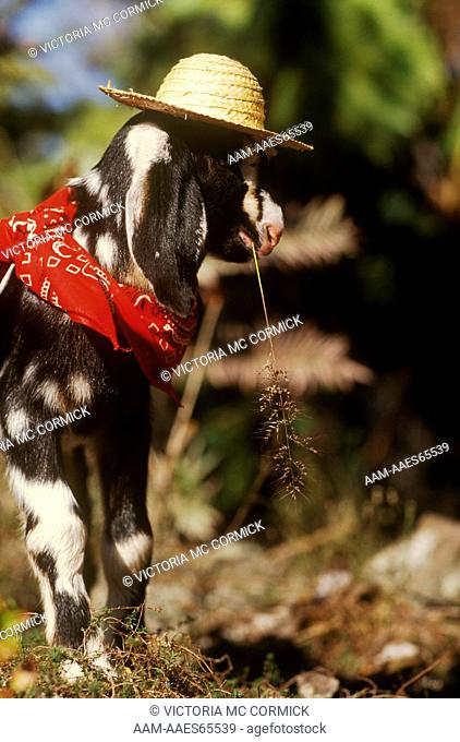 Nubian Goat, 4 days old (Capra hircus)