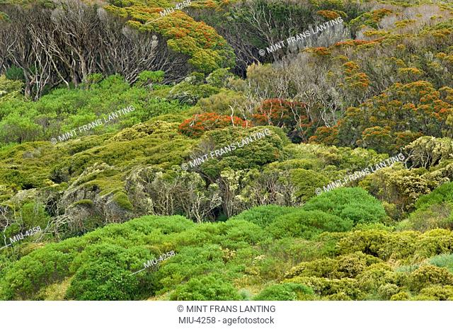 Subantarctic forest with flowering rata trees, Metrosideros umbellata, Auckland Island, New Zealand