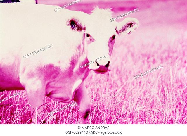 a cow ox in the pink grass effect color