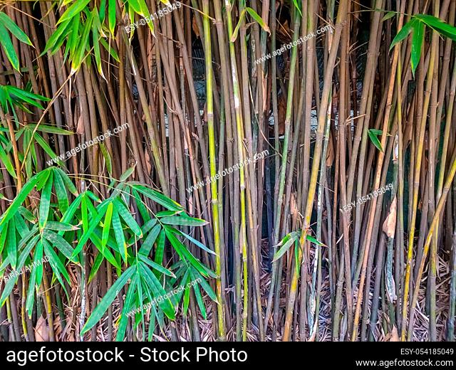 Thickets of green bamboo in the summer garden