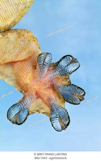 Gecko foot, Barro Colorado Island, Panama