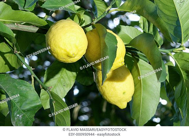 lemon tree in Sorrento coast