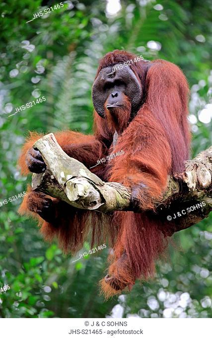 Orang Utan, Pongo pygmaeus, adult male on tree, captive, Singapore, Southeast Asia
