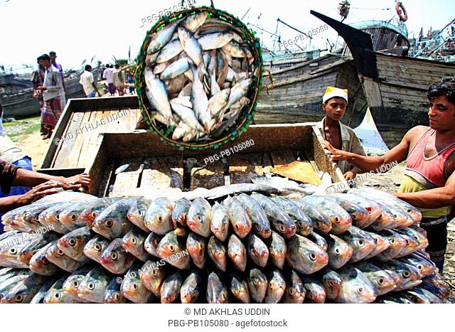 A pile of Hilsha fish loads to a push cart at Fishery Ghat in Chittagong It will be delivered to the different market places in Bangladesh It is the national...