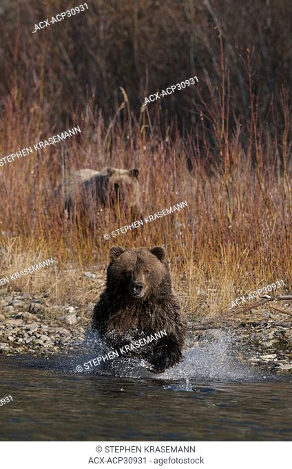Grizzly Bear Ursus arctos fishing on Fishing Branch River, Ni'iinlii Njik Ecological Reserve, Yukon Territory, Canada