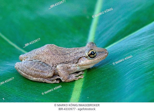 Lesser Snouted Treefrog (Scinax nasicus) sitting on leaf, Pantanal, Mato Grosso, Braslien
