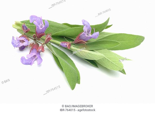 Common Sage (Salvia officinalis), medicinal plant, herb